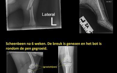 Pup jack gebroken poot- Dierenkliniek de Molen Utrecht
